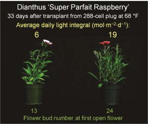 Figure 2. The effects of daily light integral on number of flower buds in dianthus 'Super Parfait Raspberry.' Plugs and plants were grown under a 16-hour photoperiod.
