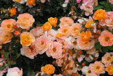One Rose, Masses Of Blooms With Amber