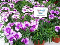 Hem Gets Short With Annuals