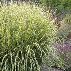 Emerald Coast Debuts Miscanthus 'Gold Breeze'