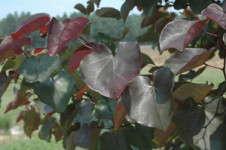 Merlot Redbud New From Garden Debut