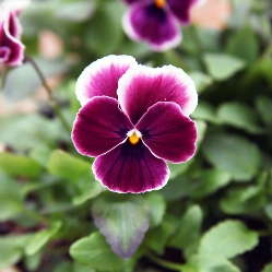 Pansy 'Nature Rose Picotee' from American Takii