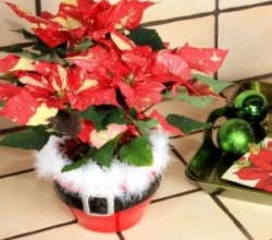 Designing With Poinsettias Catching On