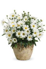 Daisy May Leucanthemum From Proven Winners