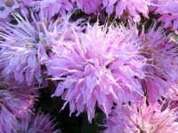 Bailey Nurseries' Bee Balm For Summer