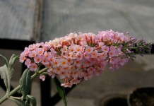 Ball Buddleia Approved For Sale In Oregon