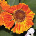 Helenium 'Mardi Gras' From Blooms Of Bressingham