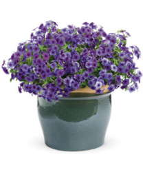 'Intensia Blueberry' Phlox Is Focused On Performance