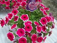 Producing Fortunia Petunia