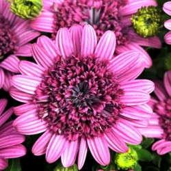 '3D Purple' Osteospermum From Selecta/Ball Horticultural