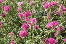 2010 Field Trials: The Year Of The Gomphrena