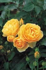 Named World's Favorite Rose