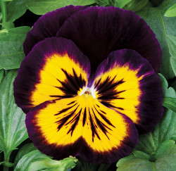 'Karma Midnight Sun' from Syngenta Flowers