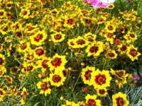 Coloropsis Coreopsis