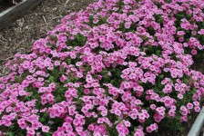 Costa Slideshow: Phlox to Viola
