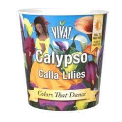 Calypso Callas Enter VIVA! Line