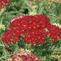 Achillea Tutti Frutti 'Pomegranate' From Blooms Of Bressingham