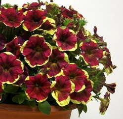 Petunia 'Sunpleasure Purple Yellow Circle' from GGG