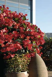 'BIG' Begonia Wins Big In The UK