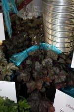 Heuchera 'Dark Chocolate' from Plants Nouveau