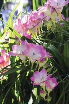 A New Twist On Freesia Greenhouse Grower