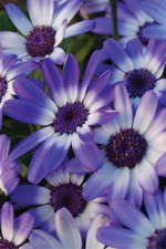Sold On Senetti