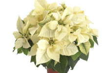 'Polar Bear' Poinsettias Going To Vegas