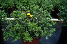Online Only: Premature Budding on Garden Mums