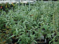 More Shrubs That Can Be Greenhouse Forced