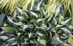 Hostas For Heroes And GreenCare For Communities