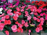 SunPatiens Now Available To All Growers