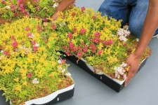 Another Grower For Green Roofs
