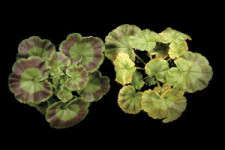 Understanding Plant Nutrition: Geranium Nutrition