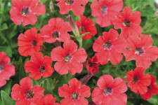 Tips For Producing Petunias