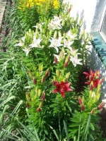 Slideshow: Producing Potted Lilies