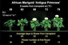 Slideshow: Timing Marigolds