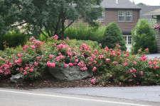 Flower Carpet Pink Supreme Recognized For Disease Resistance