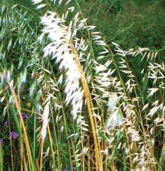 Ornamental Grasses To Consider