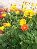 Garvinea Perennial Gerberas Touted For Disease Resistance