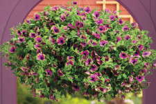A New Edge In Petunias