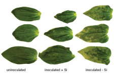Silicon In Floriculture Fertility Programs: Ready Research Results