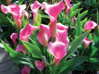 New Varieties Guide 2009: Golden State Bulb