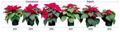 Producing Poinsettias Sustainably