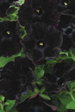 Petunia 'Black Velvet': 2010 Medal Of Excellence And Editor's Choice Nominee