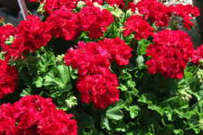 Medal Of Excellence Nominee: 'Calliope Dark Red'