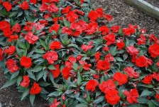 Costa Slideshow: Impatiens to Osteospermum
