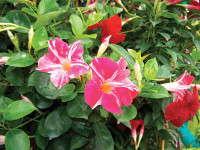 New Varieties Guide 2009: Suntory