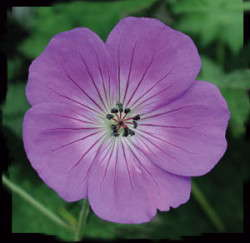 Production Tips For Top Performers: Geranium 'Rozanne'