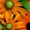 Spring Trials 2010: Rudbeckia To Sedum