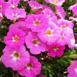 Petunia x calibrachoa 'SuperCal Pink Ice' from Sakata